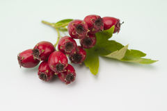 Red berries. On the branch Stock Photography