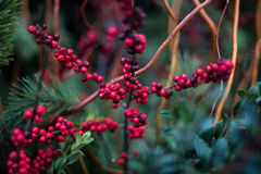 Red berries. On a branch Stock Photos