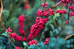 Red berries. On a branch Royalty Free Stock Photography