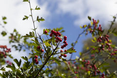 Red berries 1. Red berries on a branch with a blue sky back ground, with space for text Royalty Free Stock Image