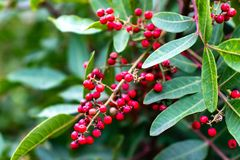 Red berries on a branch. Christmas red berries branch of a tree with grean leaves royalty free stock photography