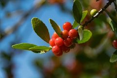 Red berries on branch with green leaves Stock Photos