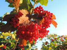 Red berries on the branch with leaves. Royalty Free Stock Image