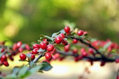 Red berries on a branch. Red berries on a twig in the spring park stock image