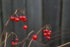 Red berries on a branch royalty free stock photos