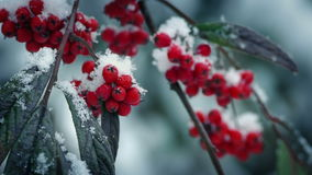 Red Berries On Branch In Snowfall. Closeup of red berries on branch with snowflakes bouncing off them stock video