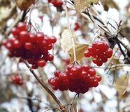 Viburnum red berry autumn leaves close-up autumn nature garden sky outdoors. Red berries branch tree autumn close-up nature beauty sky air day outdoors Stock Photography