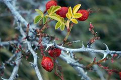 Red berries on branch Royalty Free Stock Image