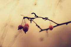 Red berries on branch royalty free stock photo