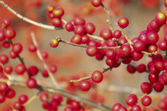 Red Berries on Branches Royalty Free Stock Photos