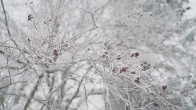Red berries on the branches of the Bush under the fallen white snow, hawthorn under a thick layer of snow in winter. Winter landscape rowan under the snow stock footage
