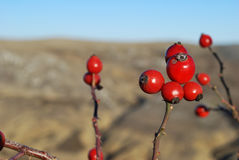 Red berries on branches Royalty Free Stock Image
