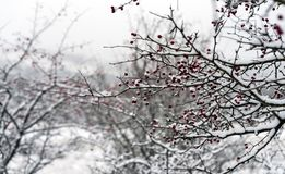 Red berries and branches covered with snow royalty free stock photo
