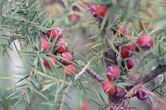 Red berries on branches of evergreen juniper royalty free stock image