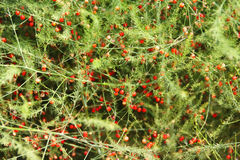 Red berries on bush Stock Images