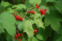 Red berries on bush Stock Image