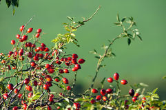 Red berries bush Stock Image