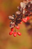 Red berries on the bush Stock Image