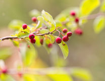Red berries on a bush in nature Royalty Free Stock Image