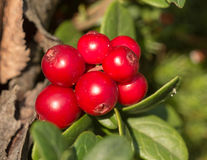 Red berries Stock Photography