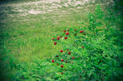 The red berries bush surrounded by bright green leaves and grass Stock Image