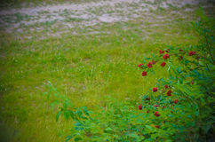 The red berries bush surrounded by bright green leaves and grass Royalty Free Stock Photos