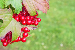 Red berries on a bush viburnum Royalty Free Stock Images