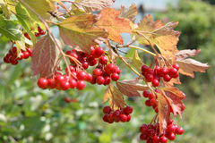 Red berries on a bush viburnum Stock Image