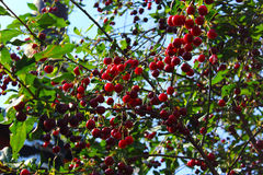 Red berries of cherry hang on a branch. green foliage and fresh berries Stock Photography