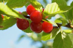 Red berries of Chinese cherries royalty free stock photos