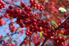 Red berries close-up. A close-up of red berries on a branch in the fall Stock Photo