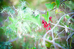 Red berries close up on green branch plant Royalty Free Stock Photos