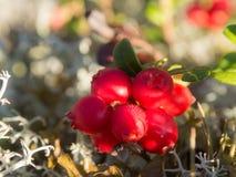 Red berries closeup Stock Photos