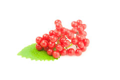 Red berries cluster of guelder rose  isolated on a white background cutout Stock Photography