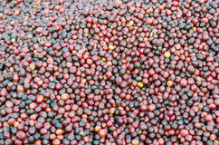Red berries coffee  background Stock Photography
