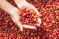 Red berries coffee beans on agriculturist hand Stock Photos