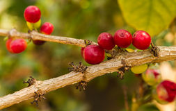 Red berries coffee beans ripen. Stock Photos