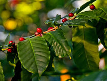 Red berries on coffee tree Stock Images