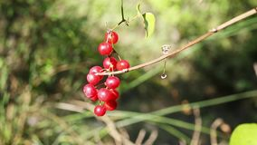 Red berries of common smilax. Cluster of red berries of common smilax also name smilax aspera or rough bindweed , the fruits are blowing in the wind in a bright stock video