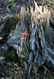 Red berries of the Convallaria. On a background of an old stump in the autumn forest Stock Photos