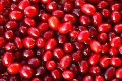 Red berries of Cornelian cherries - European corne. Red berries of Cornelian cherries. Background of red edible berries of European cornel. Forest fruits in Stock Photo