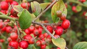 Red Berries - Cotoneaster atropurpureus - Garden stock video