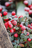 Red berries (cotoneaster horizontalis) under frost. Stock Images