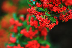 Red berries of cotoneaster. Isolated Stock Photos
