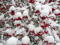 The red berries  covered with the first snow Stock Photos