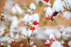 Red berries covered with fresh snow on tree, autumn, winter Stock Images
