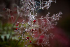 Red berries covered with frost Royalty Free Stock Image