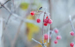Red berries covered with frost Stock Image