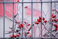 Red berries covered with hoarfrost. First day of winter. Red berries, leaves and branches covered with frost and snow Royalty Free Stock Photo
