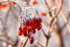 Red berries covered with hoarfrost. First day of winter. Red berries, leaves and branches covered with frost and snow Stock Photos